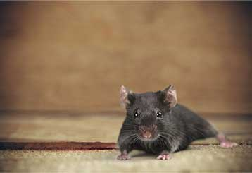 Rodent Proofing | Attic Cleaning Walnut Creek, CA